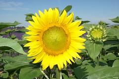 Tournesol face au soleil (Missfujii) Tags: tournesol fleur nature valensole provence plante