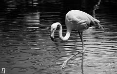 Flamingo (RJ-Clicks) Tags: rehanjamil rjclicks nikond5100 nikon d5100 pakistaniphotographer photographerindammam photographerinkhobar pakistani