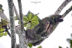 Nicaragua - Sabalos lodge: sloth (Exper!ence it) Tags: nicaragua sabalos lodge sloth nature river beauty chill nikon d300 80400mm rainforest