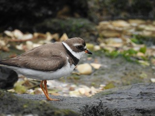 Semipalmated Plover (Explored #84)