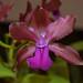 Cattleya bicolor – Merle Robboy