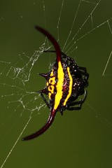 Gasteracantha (mgrimm82) Tags: tanzania africa spiders spinnen spinne july 2017 taxonomy:kingdom=animalia animalia taxonomy:phylum=arthropoda arthropoda taxonomy:subphylum=chelicerata chelicerata taxonomy:class=arachnida arachnida taxonomy:order=araneae araneae taxonomy:suborder=araneomorphae araneomorphae taxonomy:infraorder=entelegynae entelegynae taxonomy:superfamily=araneoidea araneoidea taxonomy:family=araneidae araneidae taxonomy:genus=gasteracantha gasteracantha arañastejedorasespinosas spinyorbweavers coíizcheel 棘蛛屬 pnaacojanocoíiz taxonomy:common=arañastejedorasespinosas taxonomy:common=spinyorbweavers taxonomy:common=coíizcheel taxonomy:common=棘蛛屬 taxonomy:common=pnaacojanocoíiz