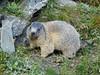 Austria '17 (faun070) Tags: grossglocknerstrasse franzjosefhöhe marmotamarmota alpinemarmot wildlife mammal animal europe europeanwildlife murmeltier