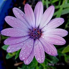 Daisy Dewdrops (Jean Turner Cain) Tags: flower flora floral flowers fleur flor jeanturnercain purple