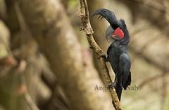 Palm Cockatoo (Probosciger aterrimus) (Gus McNab) Tags: