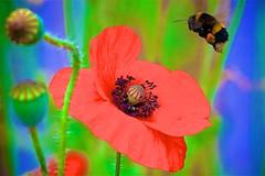 Buff-tailed Bumblebee at Corn (Red) Poppy (Andy Burton Oz) Tags: streptophyta aculeata aperture36 apinae embryophyta redpoppy arthropoda hexapoda ranunculales apidae berkshire ecdysozoa flickrexport magnoliopsida bufftailedbumblebee plant plantae flower england papaveraceae 2017 neoptera viridiplantae insecta spermatophytina andyburtonoz bombus bombusterrestris angiosperm holometabola uk ranunculanae eudicot burtonandy cornpoppy bilateria pterygota animalia apoidea tracheophyta linnaeus1758 andyburton papaverrhoeas apocrita reading hymenoptera protostomia papaver nikond500 bombini nikon afsvrnikkor300mmf28gifedii