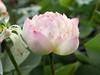 Nelumbo nucifera 'Red Lips' Thailand 014 (Klong15 Waterlily) Tags: redlips redlipslotus nelumbo nelumbonucifera lotus thailotus thailandnelumbo chineselotus