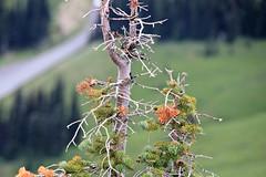 Pine Tree (Bella Lisa) Tags: mountrainiernationalpark sourdoughmountains washington sunrisevisitorcenter degepeak mtrainier emmonsvista curlyeverlasting wildflowers wilderness nationalpark washingtonstate sunsetpoint hiking emmonsglacierevergreens pines pinetrees
