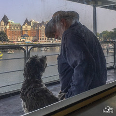 Travels with Charlie: A Portrait of Love (6/100) (Selkii's Photos) Tags: 100strangers cohoferry dogs ferry thehumanfamily victoria britishcolumbia canada empresshotel havanese