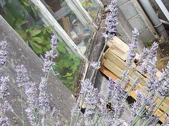 Bees in the Lavender (vw4y) Tags: lavender bees bumblebees garden sunnyafternoon