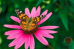 Painted Lady (fotofrysk) Tags: paintedlady butterfly vanessacardui echinaecea flower ourgarden canada ontario thornhill cityofmarkham afsmicronikkor105mm28ged nikond7100 201708094714