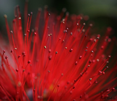 Flame and flicker (WinRuWorld) Tags: macro closeup bloom flower botany plant shrub metrosiderosthomasii myrtaceae nzchristmasbush myrtle outdoors naturallight handheld red stamen flame flicker canon canon60d canoneos60d ef100mmf28lmacroisusm canon100mmmacrolens merewether nsw newsouthwales australia blossom dof depthoffield bokeh