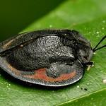 Tortoise beetle, Stolas sp., Cassidinae thumbnail