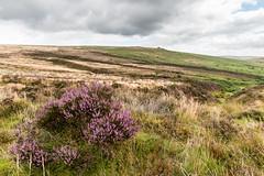Dartmoor - Headland Warren (Keith in Exeter) Tags: dartmoor devon headlandwarren moorland heather grass bracken tinmining gullies outdoor nationalpark landscape