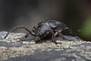 Leder boktor    Tanner beetle (kPepels) Tags: leder boktor tanner beetle