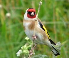 Goldfinch (Peanut1371) Tags: goldfinch finch bird gardenbird nationalgeographicwildlife