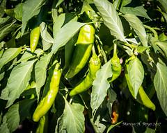 Green Chile! (MariachiMarcus) Tags: green greenchile hatchchile hatchgreenchile lascruces donaana newmexico lascrucesnewmexico plant plants chile chilepepper dogwood52 dogwood2017 dogwoodweek24