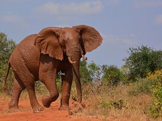 Muddy Elephant to Celebrate World Elephant Day - 6168b+