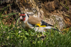 Goldfinch/Steglits (Carduelis Carduelis) (m3dborg) Tags: goldfinch carduelis bird birds animals natural nature wildlife wilderness outdoors outdoor activities grass