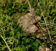 Seeds to scatter (smcnally24601) Tags: surrey hills hill box national trust morning sun flower plant nature england english britain british summer