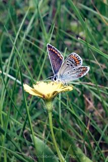 Bruin blauwtje - Aricia agestis