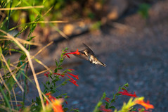 Female Black-chinned Hummingbird (ironekilz) Tags: chatfieldstatepark