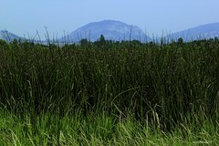 Wall of Marsh (explored #11) (evanffitzer) Tags: marsh oliver britishcolumbia canada canoneos60d reeds plants grass mountains hills outdoors outside green tall hilltop evanfitzer evanffitzer photography photographer park