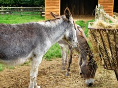 Best of Friends! (springblossom3) Tags: donkeys eating hay millets farm nature frilford oxfordshire