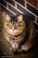220/365 - 'Happy' international cat day (phil wood photo) Tags: 2017 2017photofun 365 70200f4l cat day220 internationalcatday jerry