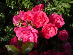 Roses to celebrate the last summer Sunday of 2017 (peggyhr) Tags: peggyhr roses sunday summer pink dsc08155 vancouver bc canada rainbowofnaturelevel1red carolinasfarmfriends niceasitgets~level1 l~1passionforflowers heartawards niceasitgets~level2 thegalaxy