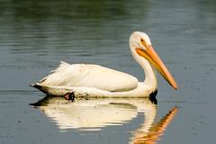 American White Pelican, Iona, Vancouver, BC.CR2 (JohnReynolds2012) Tags: bird birds vancouver 2017 inaturalist bc canada animals richmond britishcolumbia ca