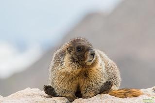 Yellow-bellied Marmot, (Marmota flaviventris) Mount Evans, CO.