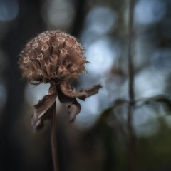 Monarda (Anne Worner) Tags: anneworner closeup olympus e620 lensbaby composerpro doubleglass monarda beebalm fall autumn seedhead spent finished over plant flower flora square bokeh shallowdof manualfocus manualfocuslens bend grain colorefex4