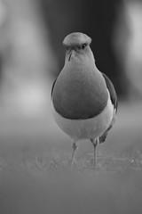 Vanneau des Andes (Adam Maucoronel) Tags: vanneau noir et blanc pérou nature animalier