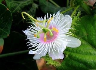 Love-in-a-mist (Passiflora foetida)
