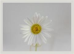 "So simple.....""Flower, Flowered or Floral""- ODC (Karon Elliott Edleson) Tags: daisy simple simplicity macro ourdailychallenge flowerfloweredorfloral pure flower"