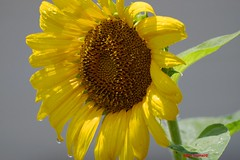 After The Rain (Anton Shomali - Thank you for over 1 million views) Tags: after the rain aftertherain wet sunflower wetsunflower sun sunshine storm thunder yellow green seeds flower flowers nature summer season beauty beautiful shadow tree plant drops drop closeup chicago midwest sky water bluesky clouds sony slta77v camera