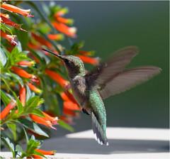 Summer Hummer (Sun~Lover) Tags: rubythroated summer firecracker red illinois archilochuscolubris flowers nectar hummingbird bird explore 2017