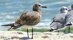 Seagulls (Suzanham) Tags: seagull gull alabama gulfshores gulfofmexico seabird
