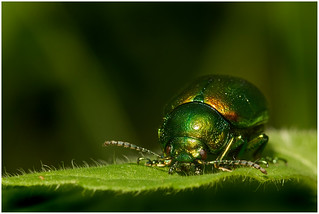 Tansy Beetle.