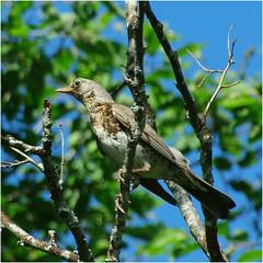 kramsvogel......... (atsjebosma) Tags: tree summer july juli boom takken branches bluesky sweden atsjebosma vogel norway coth5 ngc