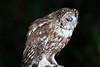 """TAWNY OWL """"SLEEPY HEAD"""" (WiltsWildAboutBirds) Tags: birdphotography strixaluco tawnyowl birdsofprey nature nightowl wiltswildaboutbirds sleepyhead wildtawnyowl tawnyowl3rdsept2017"""