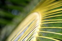 Palme de cocotier à géométrie variable (Christian Chene Tahiti) Tags: canon 7d pueu presquîle géométrie géométrievariable courbure courbé tahiti flore jardin macro nature frenchpolynesia polynésie vert pf polynésiefrançaise polynesia extérieur plante feuillage motif motiforganique jaune tige palme palmedecocotier palmier arbre tree végétal foliage feuille leaf symétrie