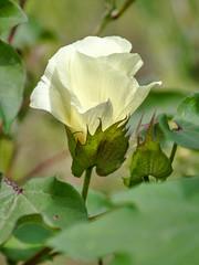 flower, upland cotton (teknoec) Tags: upland cotton flower gossypium hirsutum macro plant dof bokeh botanic garden szeged