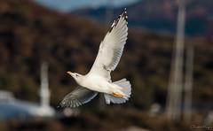 Gabbiano // Seagull (Christian Papagni   Photography) Tags: olbia sardegna italia it gabbiano seagull canon eos 7d mark ii ef100400mm f4556l is usm bird uccello