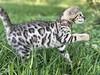 (BellaBengala) Tags: bengal kittens kittenshouston kittenstexas bengalkittens kittensforsale pancakespots bellabengala lovelykittens beautifulcats bengalkittenforsale