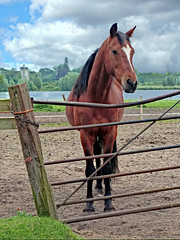 Big Horse at Little Livermere (dogmarten28) Tags: horse stallion equine fence mere lake littlelivermere amptonwater animal post suffolk gate