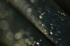 the nature of things (21) (birdcloud1 (back soon :-)) Tags: flax newzealandflax harakeke phormiumtenax waterdroplets aftertherain focus bokeh waterdrops thenatureofthings sparkle canoneos80d eos80d canon1855mmlens 1855mmlens raynox250 rayoncloseuplens amandakeoghphotography amandakeogh birdcloud1 plants thesecretlifeofplants newzealandnativeplants parallel raynox