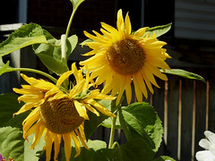 Sunflowers in Ottawa, Ontario (Ullysses) Tags: sunflowers ottawa ontario canada summer été tournesols