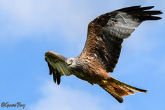 Red Kite (parry101) Tags: south wales southwales nature geraint parry geraintparry wildlife cardiff forestfarm forest farm sigma sigma150600 150600 150600mm nikond500 d500 animal animals red kite kites llanddeusant brecon beacons national park llangadog
